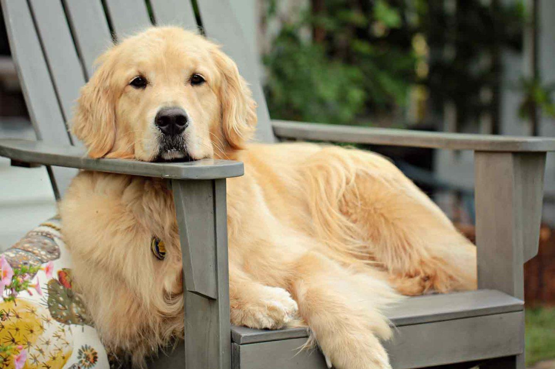 Choosing Between a Labrador and Golden Retriever