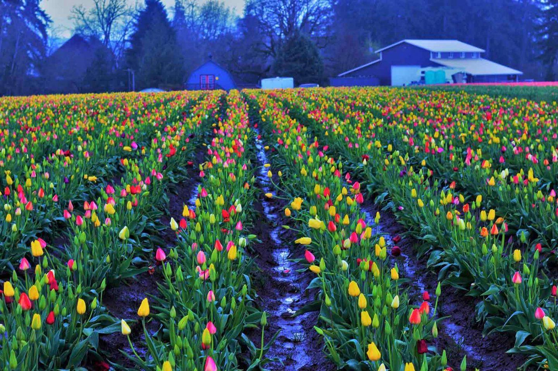 Best Tulip Festivals in the US
