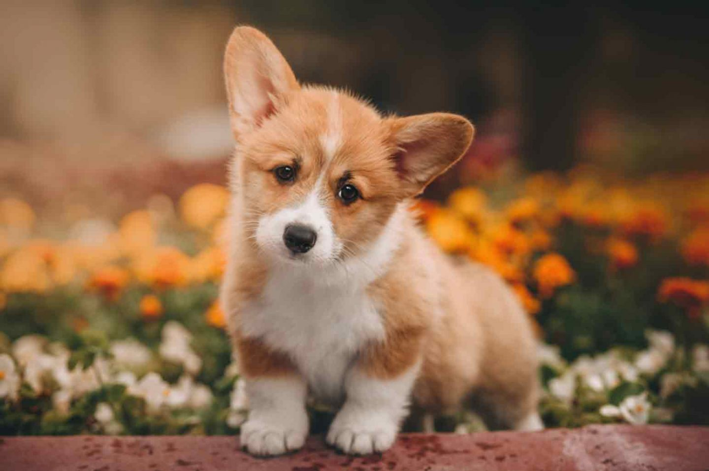 Tips for Corgi Owners