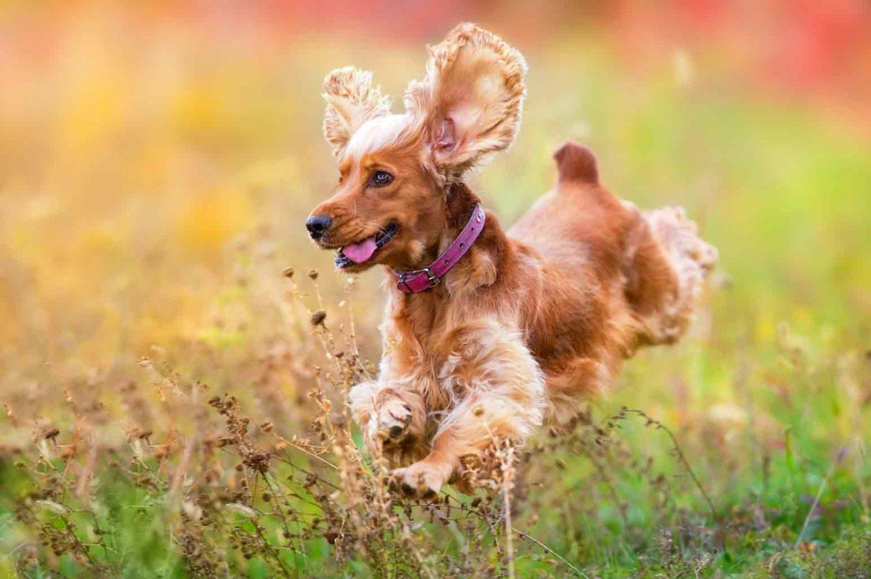 Best Medium-Sized Dog Breeds