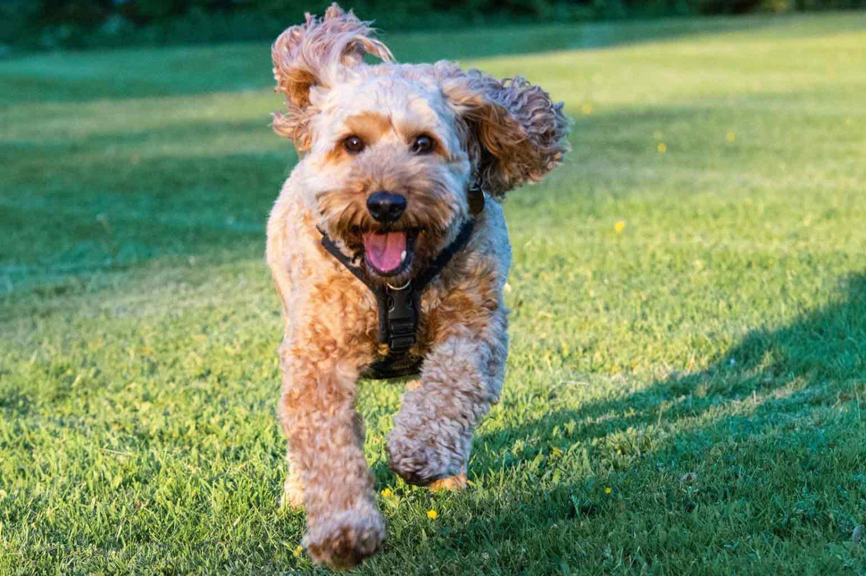 Adorable Small Mixed Dog Breeds